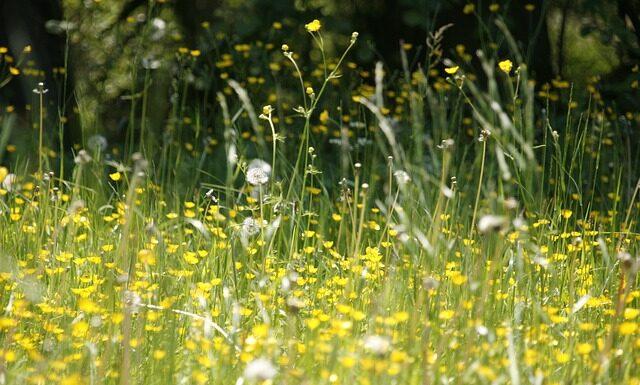 Pyłki traw często są przyczyną reakcji alergicznych